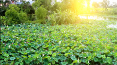 Lotus bloom in the pond Stock Footage