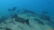 Stock Video Footage of Leopard Grouper (Mycteroperca rosacea) Cabo Pulmo, Baja. Mexico.