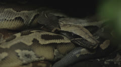 Dark pythons lounge Stock Footage
