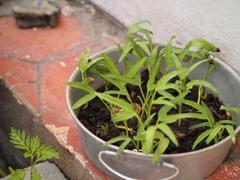 Water spinach in pot;ipomoea aquatica Stock Photos