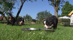 Bernese Mountain Dog pups eating from bowl Stock Footage
