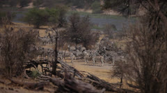 A large herd of zebras in the distance behind bushes Stock Footage