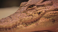 Gator sits and breathes, static Stock Footage