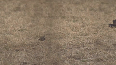 Lapwing - Vanellus vanellus Stock Footage