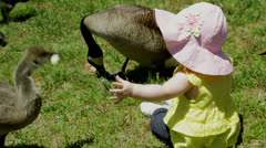 Baby infant girl reaches for baby goose Stock Footage
