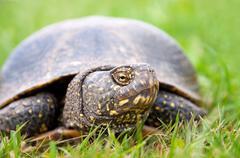 European pond turtle (Emys orbicularis) Stock Photos