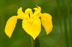 Yellow iris (Iris pseudacorus) Stock Photos