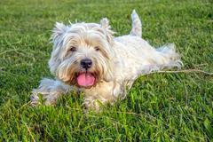 Stock Photo of West Highland White Terrier