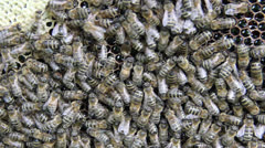 Bees on the honeycomb full of honey - close up shot 2 Stock Footage