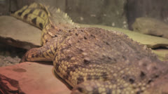 Pan along gator jaw-agape, -focusfollow Stock Footage