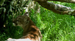 Mountain lion in shadow and tall grass Stock Footage