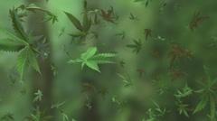 Marijuana falling look around Stock Footage