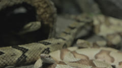 Rackfocus around three rattlesnakes lounging Stock Footage