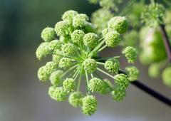 angelica plan. summer - stock photo