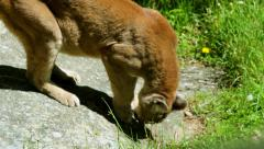 Mountain lion sniffs rock close up Stock Footage