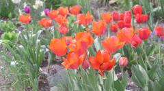 Tulip flowers Stock Footage
