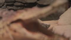 Rackfocus to gator jaw-agape Stock Footage