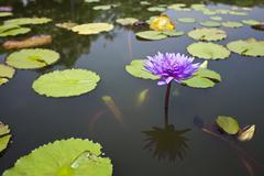 Purple waterlily Stock Photos