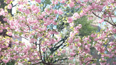 Low angle rack on Cherry Blossoms with sky Stock Footage