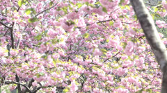 Surrounded by Cherry Blossom Trees Stock Footage