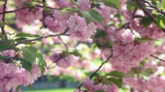Cherry Blossom Rack Composition #2 Stock Footage