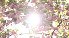Sun Flares through Cherry Blossoms Stock Footage