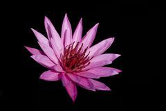 Pink lotus on black background. Stock Photos