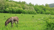 Stock Video Footage of Donkey grazing in the meadow