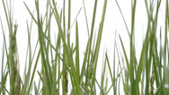 Green grass. White background Stock Footage