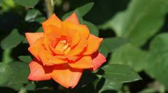 orange rose close-up - stock footage