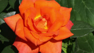 Orange rose Stock Footage