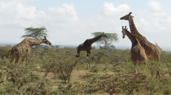 Giraffe family in Masai Mara Stock Footage