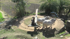 India Rajasthan Sayra oxen and gleaming water wheel 18 - stock footage