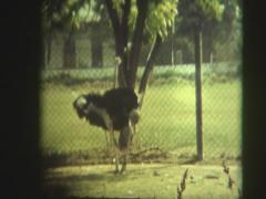 ostriches in the aviary - stock footage