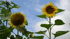 Ripe sunflower head blue cloudy sky Stock Footage