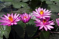 pink lotuses. - stock photo