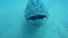 Gulf Grouper Stock Footage