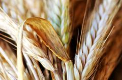 Closeup of wheat spikes background Stock Photos