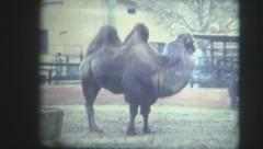 Zoo camel in the ussr Stock Footage