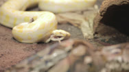 Stock Video Footage of Yellow Boa releases snack and rests