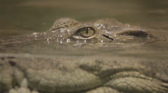 Rackfocus to gator halfsubmerged, static cu -st Stock Footage