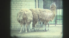 Zoo in the ussr lama Stock Footage