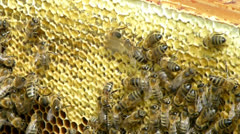 Bees on the honeycomb full of honey - close up shot Stock Footage