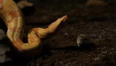 Snake interacting with mouse - stock footage