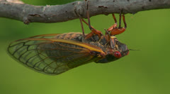 Brood II 17-year periodical cicadas (Magicicada septendecim) 3 Stock Footage