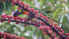 HD Colorful Parrot in Australia - Lorikeet - eating seeds in the wild Stock Footage