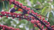 Stock Video Footage of HD Colorful Parrot in Australia - Lorikeet - eating seeds in the wild