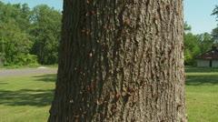 Brood II 17-year periodical cicadas (Magicicada septendecim) 6 - stock footage