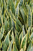 sansevieria (mother-in-law's tongue) background - stock photo