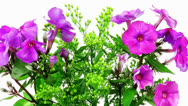 Small bouquet of pansy flowers Stock Footage
